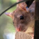 How To Prevent Rats From Entering Your Home - 7 Steps