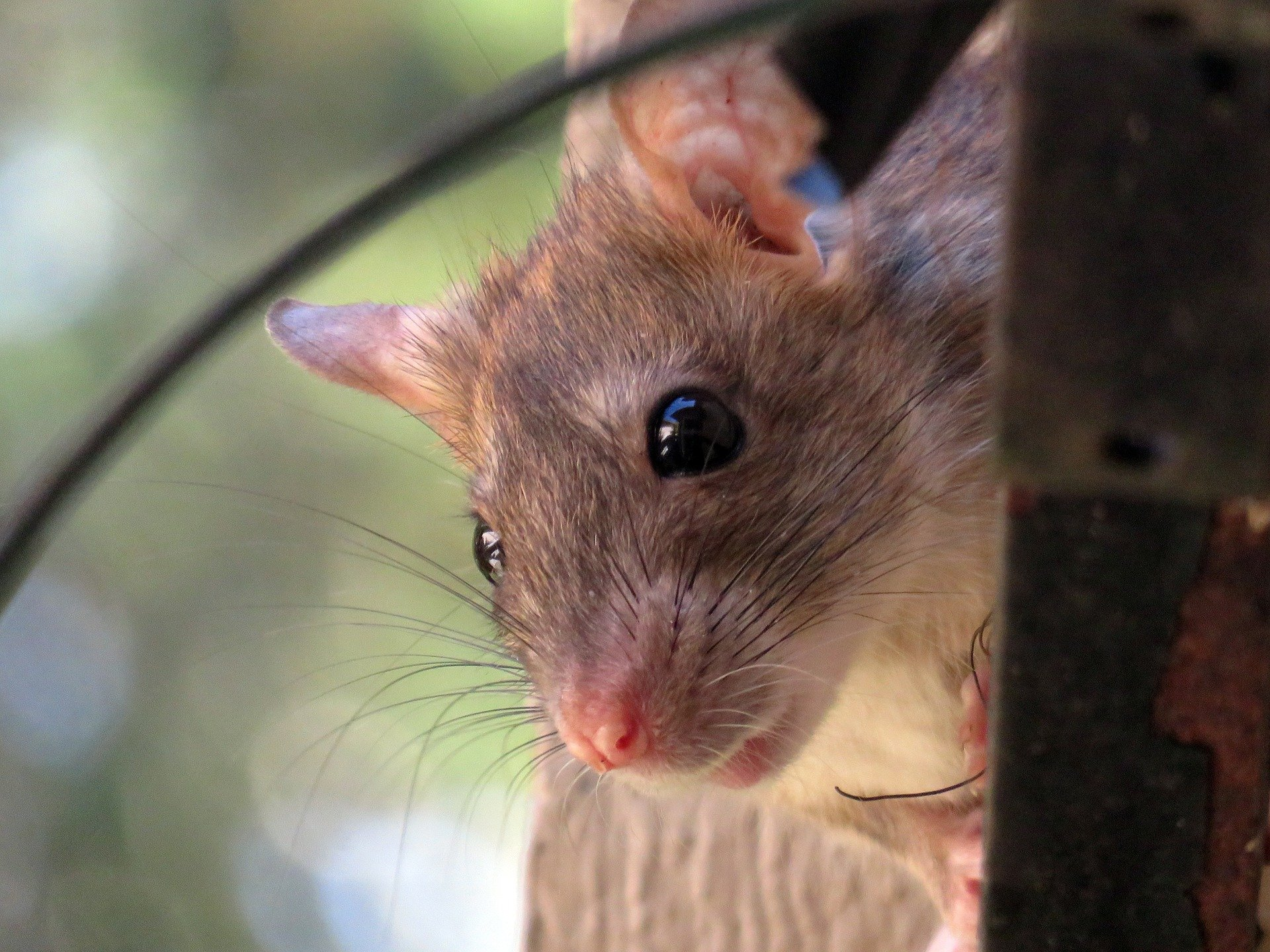 How To Prevent Rats From Entering Your Home