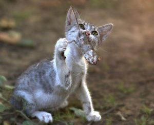 Cat eating Mouse