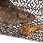 Rat Trap Bait - 9 Irresistible and Successful Options