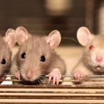 What Can Rats Chew Through? Some Are Effortless!