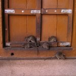 Signs That a Residence May Be Infested by Rodents