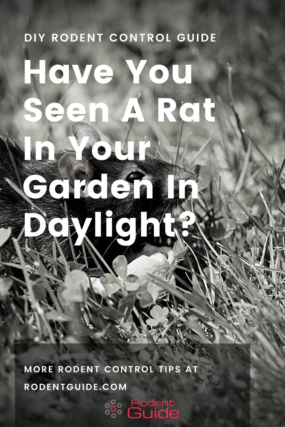 Have You Seen A Rat In Your Garden In Daylight