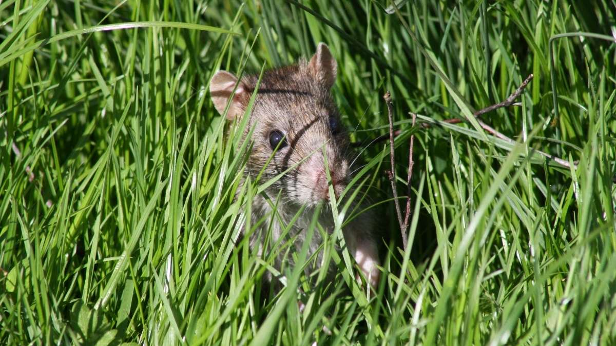 rat in garden during the day