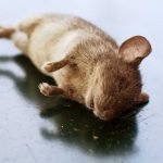 How To Get Rid Of Dead Mouse Smell. Step by Step Guide