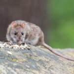 Why Do You Get Rats In Your Yard?