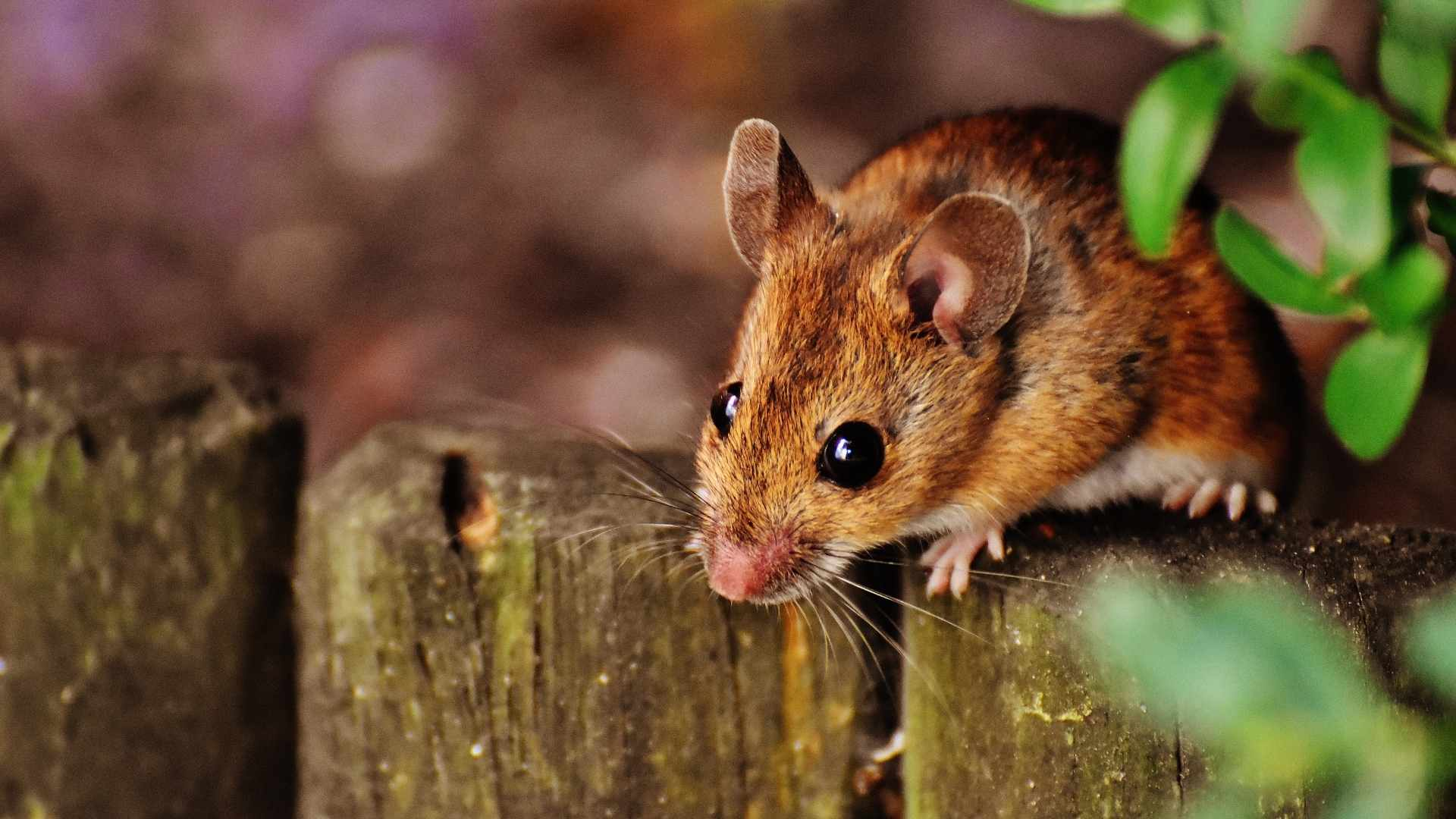 mouse climbed to the top of a fence peering down