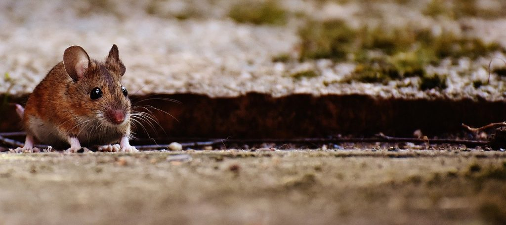 Mice In Walls But Not In House