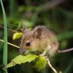 8 Reasons Why Mice Are Dangerous