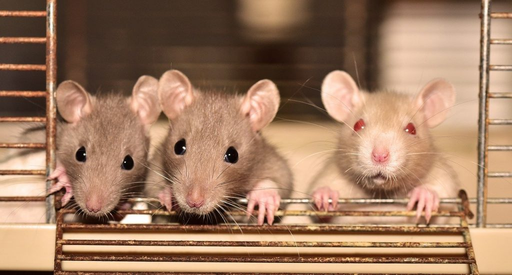 Do Rats Learn To Avoid Traps