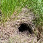 Where Do Rats Burrow? And 5 Ways To Destroy Them