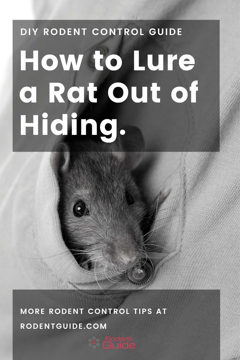 How to Lure a Rat Out of Hiding