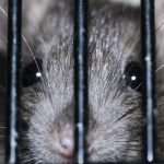 Do You Have A Rat Caught In A Trap But Still Alive?