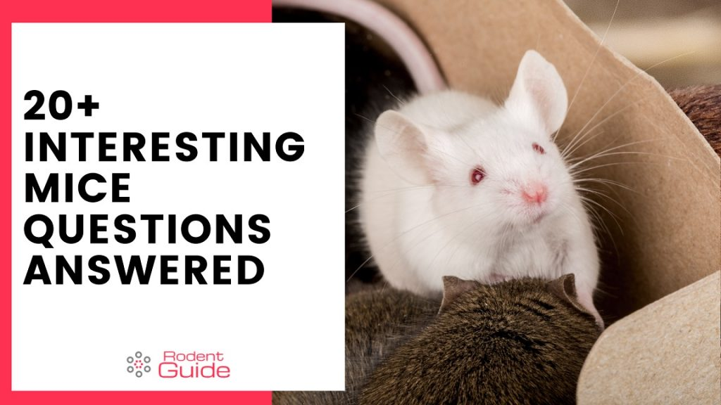 20+ Interesting Mice Questions Answered