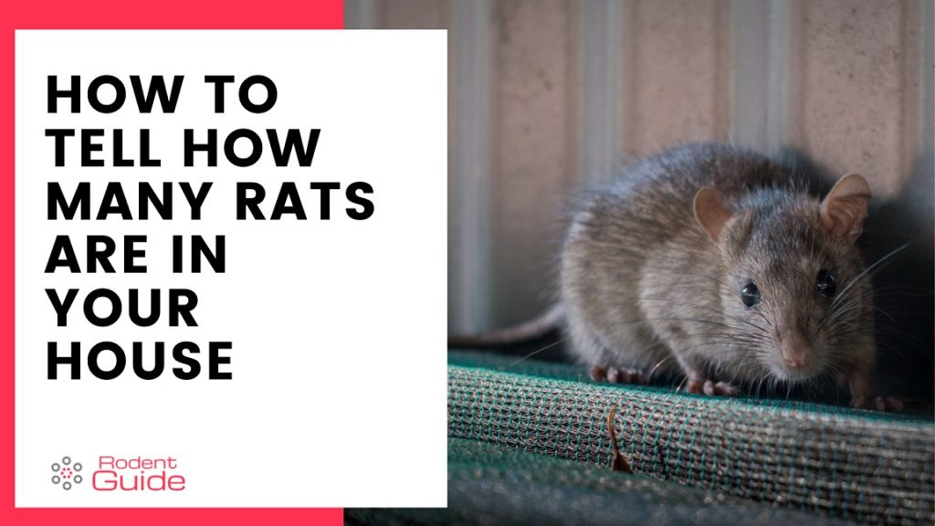 How To Tell How Many Rats Are In Your House