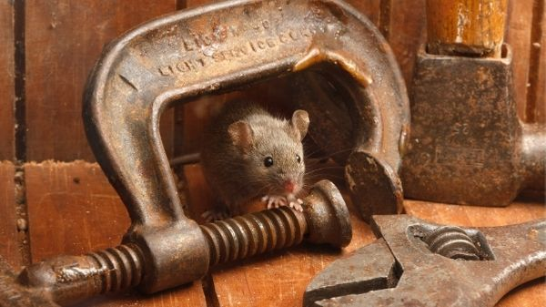 mouse in shed