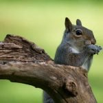 Do Squirrels Eat Meat? And Are They Omnivores?