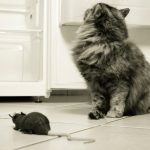 Do Cats Eat Rats? Rat v Cat, the Truth!