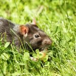 Do Rats Eat Human Poop? The Grim Reality
