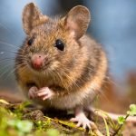7 Natural Mouse Deterrent Options - Complete Guide