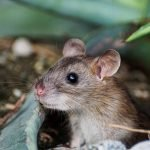 Mouse Trap: 5 Home Remedies to Kill Mice