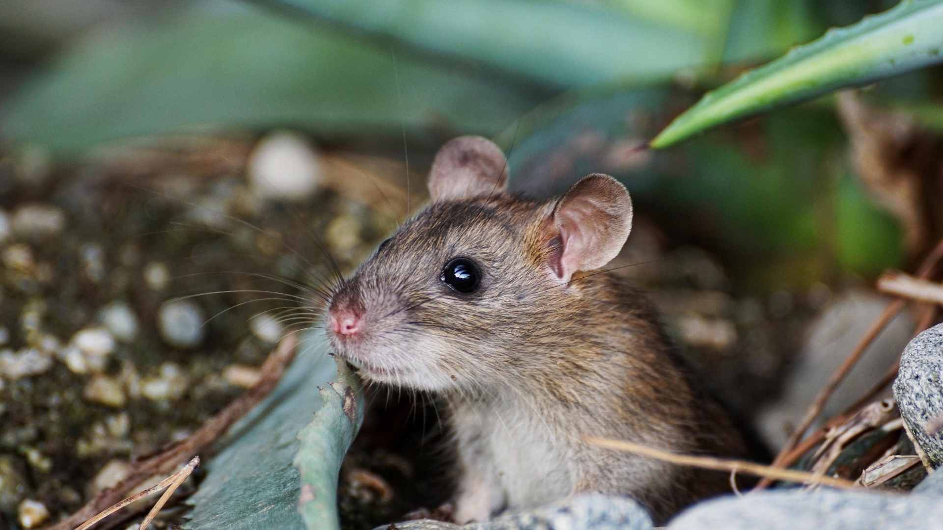 home remedies to kill mice
