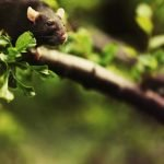 Can Rats Climb Trees? Here Is How You Can Stop Them?