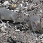 How To Get Rid Of Mice From Your Yard