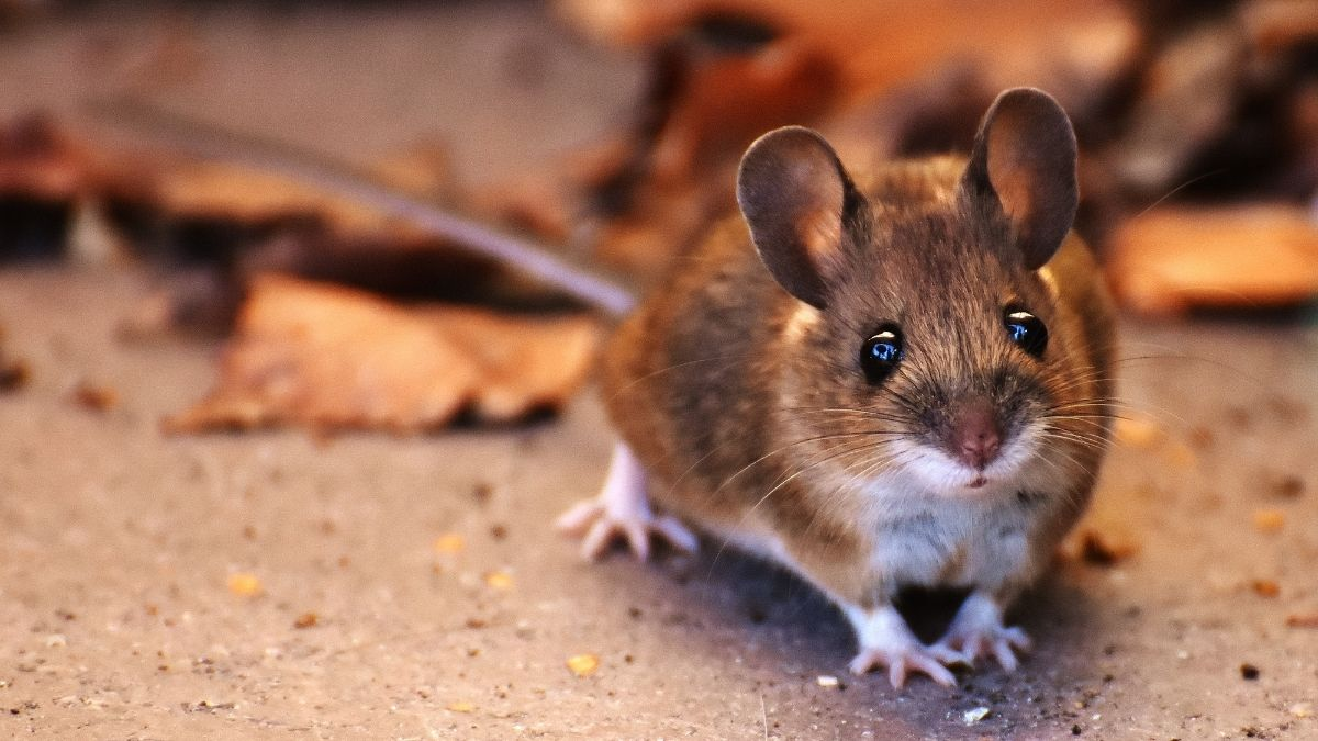 what noise do mice make