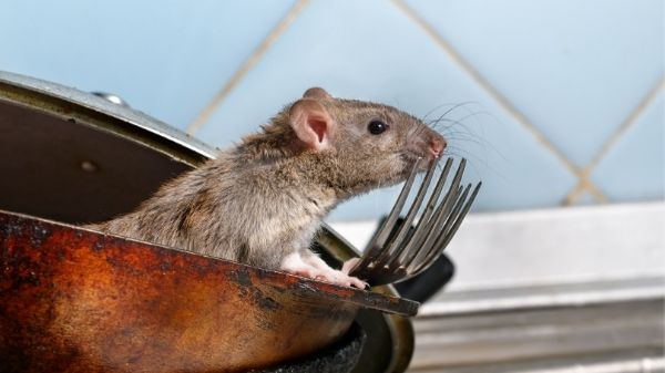 rat in kitchen - pest rodent