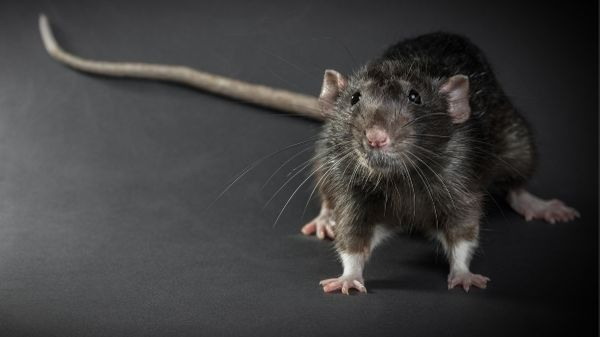 black rat with long tail