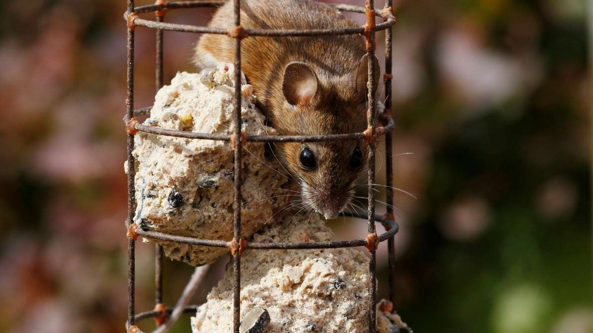 mouse in bird feeder