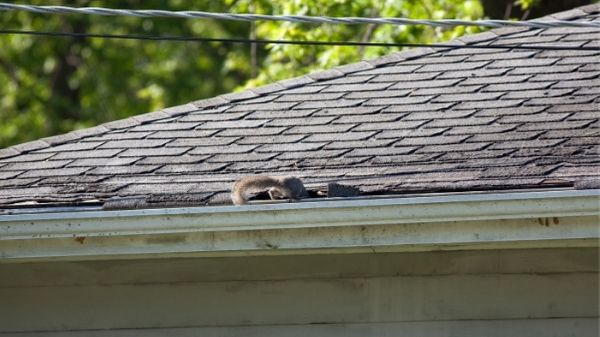 squirrel entering attic through roof